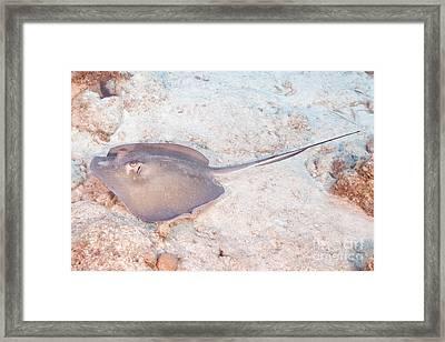 Southern Stingray - Dasyatis Americana Framed Print by Anthony Totah