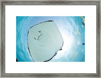 Southern Stingray Framed Print by Michele Westmorland
