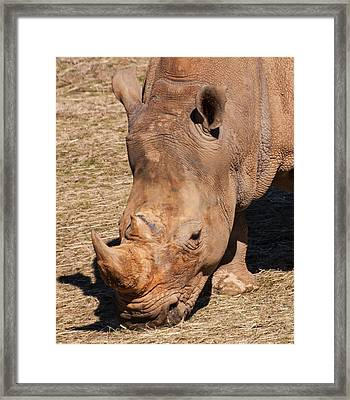 Southern White Rhino Framed Print by Chris Flees