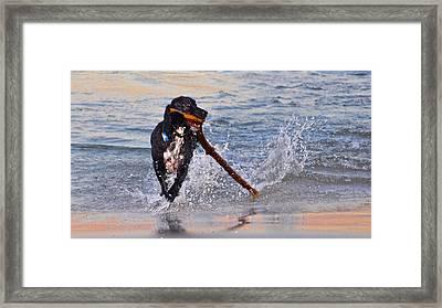 Spaniel With A Stick Framed Print by Kristina Deane