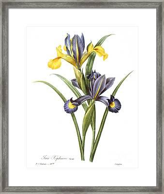 Spanish Iris Framed Print by Granger
