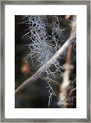 Spanish Moss Framed Print by Carol Groenen