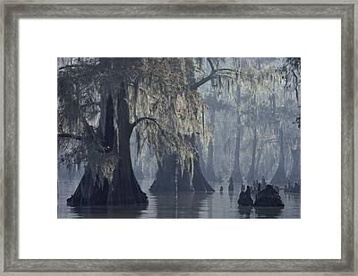 Spanish Moss Drapes Old Cypress Trees Framed Print by John Eastcott And Yva Momatiuk