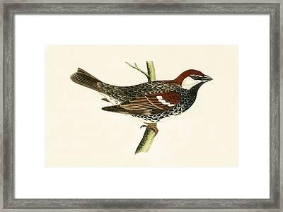 Spanish Sparrow Framed Print by English School