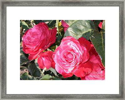 Sparkling Roses Framed Print by Carol Groenen