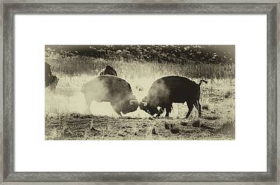 Sparring Partners - American Bison Framed Print by TL Mair