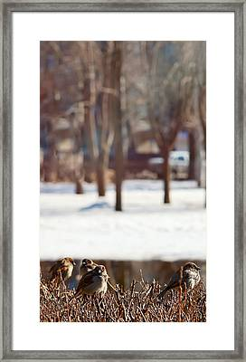 Sparrows Are Basked In The Spring Sun. Framed Print by Gennadii Komissarov
