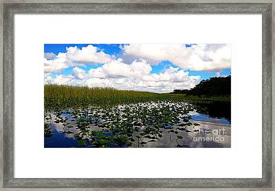 Spatterdock In The Everglades Framed Print by Cheryl Young