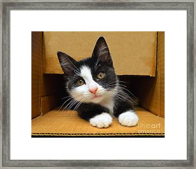Special Delivery Tuxedo Kitten Framed Print by Catherine Sherman