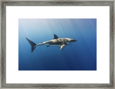 Spectacular Sunrays On A Spectacular Shark Framed Print by Steven Trainoff Ph.D.