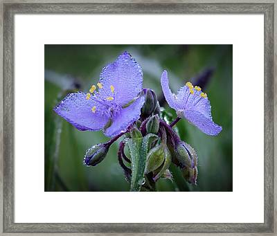 Spiderwort Framed Print by James Barber