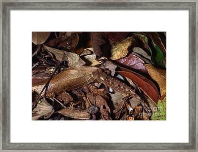 Spiny Leaf Chameleon Framed Print by Michael H. Francis