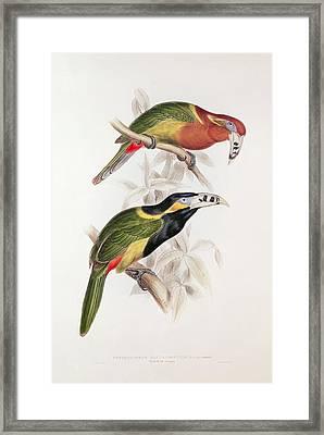 Spotted Bill Aracari Framed Print by Edward Lear