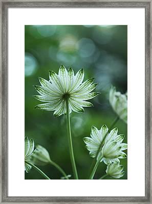Botanica .. Spray Of Light Framed Print by Connie Handscomb