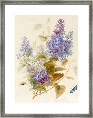 Spray Of Lilac Framed Print by Pauline Gerardin