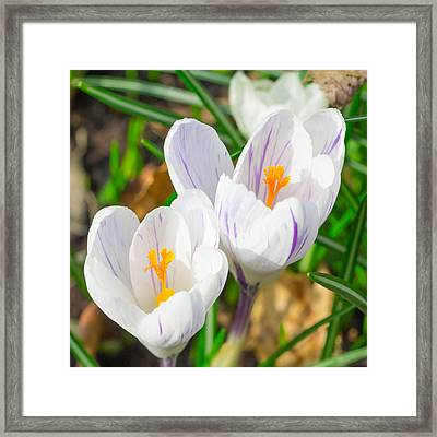 Spring Crocus Framed Print by Anthony Mitchell