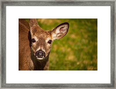 Spring Deer Framed Print by Karol Livote