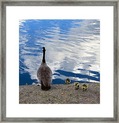 Spring Goslings And Mother Goose Framed Print by Daniel Hagerman