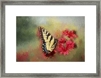 Spring Swallowtail Framed Print by Darren Fisher