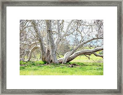 Spring Sycamore Tree Framed Print by Carol Groenen