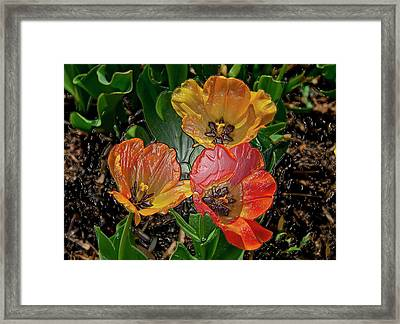 Spring Tulip's Digital Art Framed Print by Don  Wright