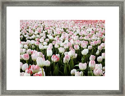 Spring Tulips Framed Print by Linda Woods