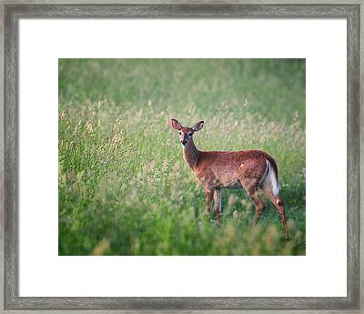 Spring Whitetailed Deer Framed Print by Bill Wakeley