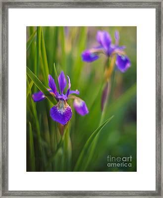 Springs Irises Beauty Framed Print by Mike Reid