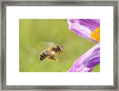 Springtime - Bee In Flight Framed Print by Roeselien Raimond