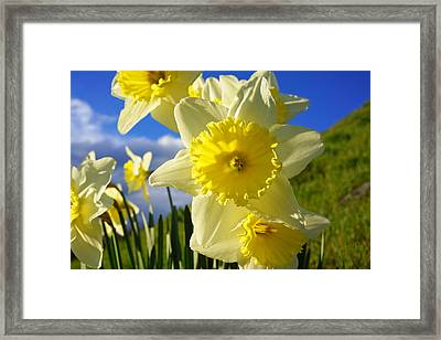 Springtime Bright Sunny Daffodils Art Prints Framed Print by Baslee Troutman