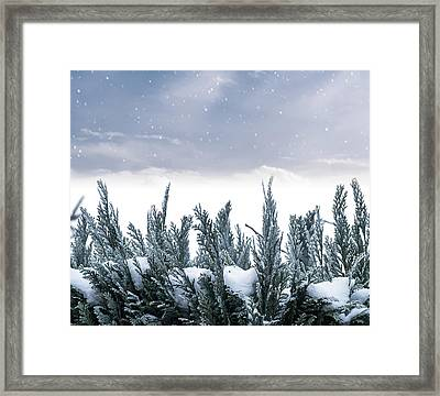 Spruce In Snow Framed Print by Wim Lanclus