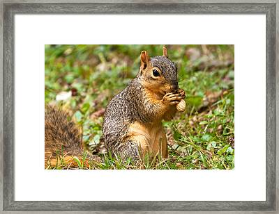 Squirrel Eating A Peanut Framed Print by James Marvin Phelps