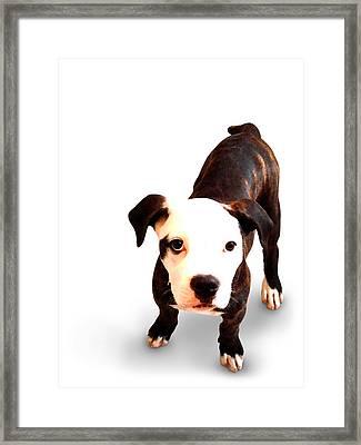 Staffordshire Bull Terrier Puppy Framed Print by Michael Tompsett