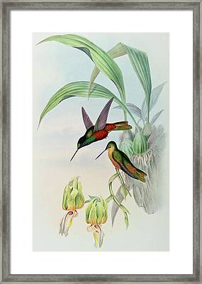 Star Fronted Hummingbird Framed Print by John Gould