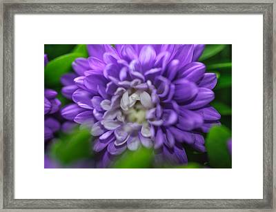 Star Shaped Purple Aster Framed Print by Jenny Rainbow