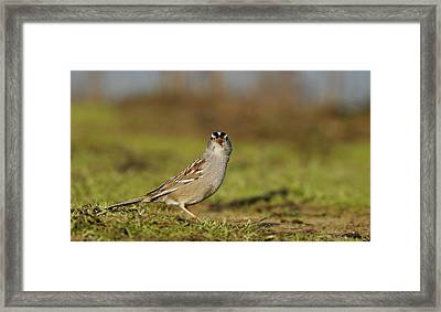 Staring Contest - White-crowned Sparrow Framed Print by Andrew Johnson
