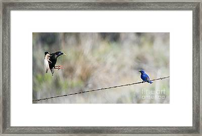 Starling Attack Framed Print by Mike Dawson