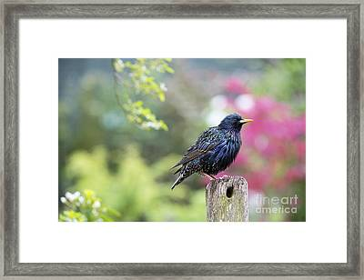 Starling  Framed Print by Tim Gainey