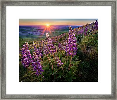 Steptoe Butte Lupine At Sunset Framed Print by Richard Mitchell - Touching Light Photography