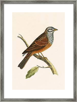 Striolated Bunting Framed Print by English School