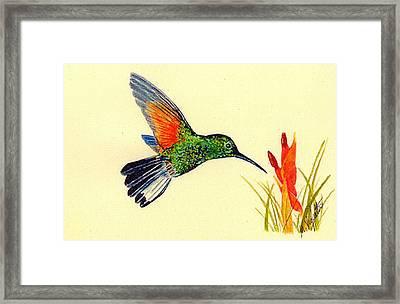 Stripe Tailed Hummingbird Framed Print by Michael Vigliotti