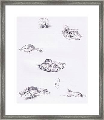 Studies Of Mallard Ducks Framed Print by Archibald Thorburn