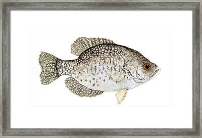 Study Of A Black Crappie Framed Print by Thom Glace