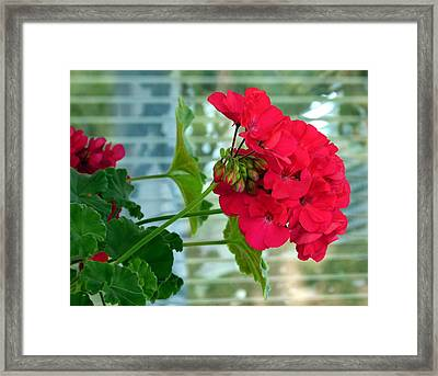 Stunning Red Geranium Framed Print by Will Borden