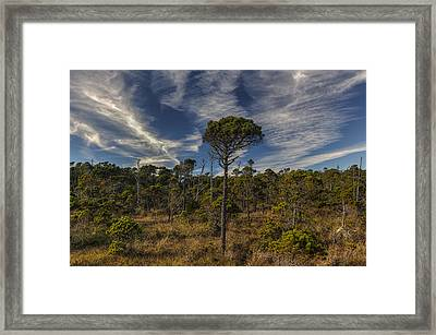Stunted Ancient Forest Framed Print by Mark Kiver