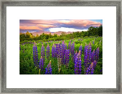 Sugar Hill Lupines Framed Print by Robert Clifford