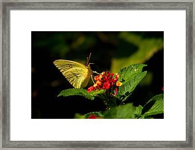 Sulpher Butterfly On Lantana Framed Print by Douglas Barnett