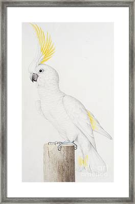 Sulphur Crested Cockatoo Framed Print by Nicolas Robert
