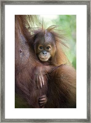 Sumatran Orangutan 9 Month Old Baby Framed Print by Suzi Eszterhas