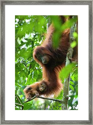 Sumatran Orangutan Pongo Abelii Two Framed Print by Suzi Eszterhas